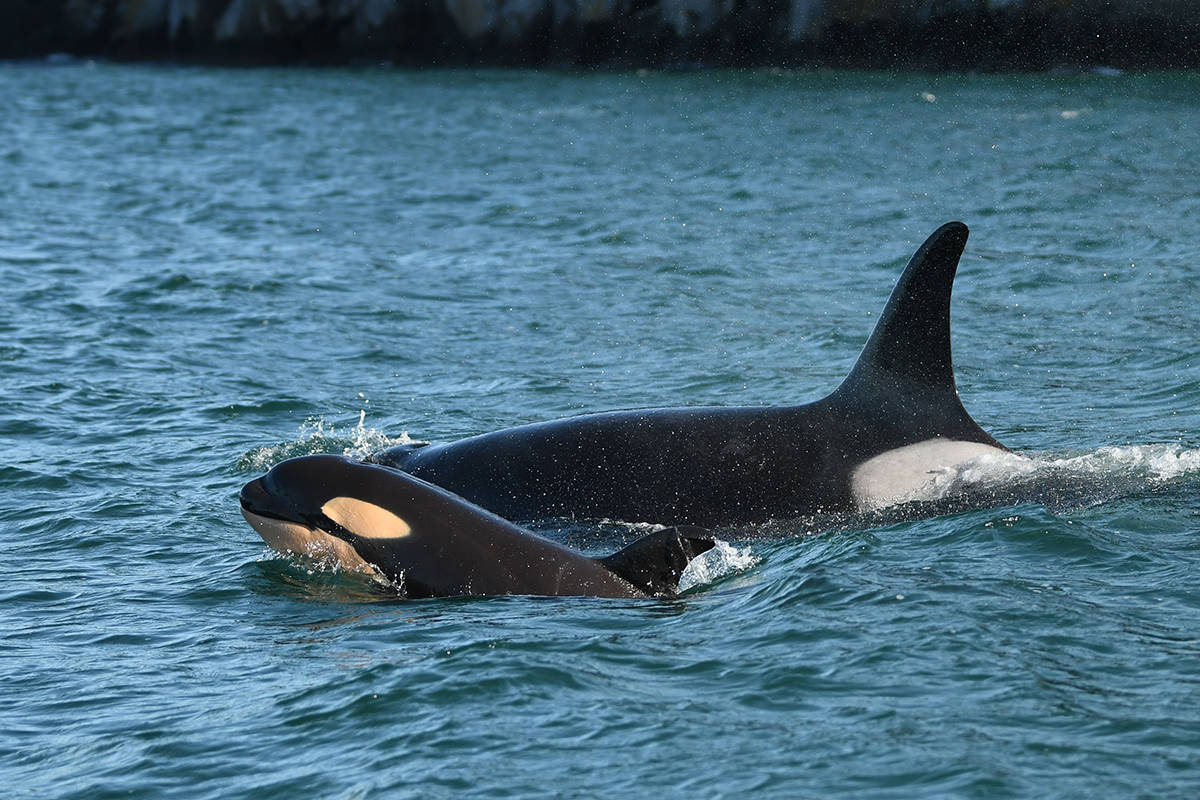 Calf L125, spotted with mother L86, appears to be in good physical condition. The calf is the first born to L Pod since January 2019. (Photo by Dave Ellifrit/Center for Whale Research)