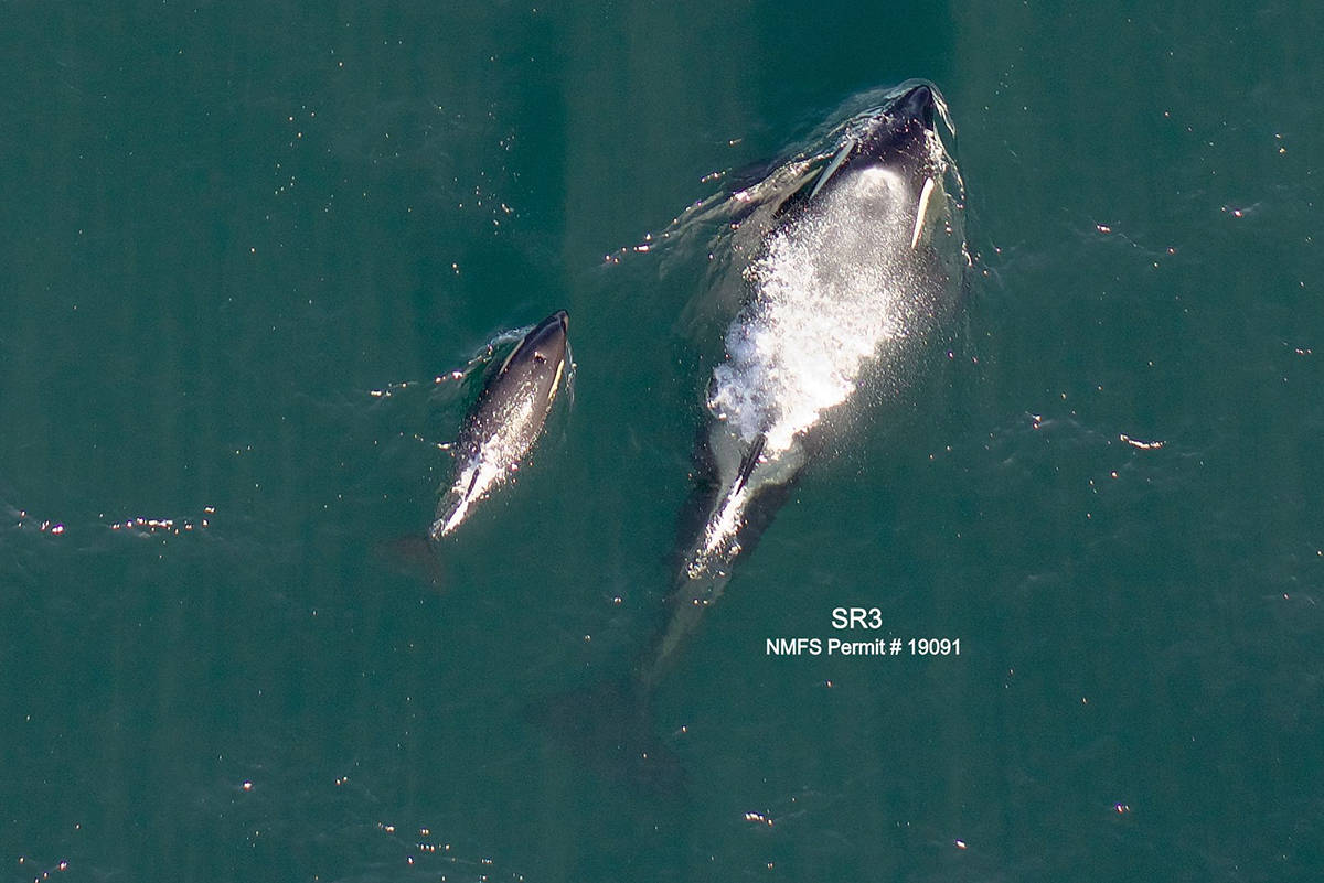 Calf L125, seen with mother L86, appears to be in good physical condition. (Photo by Dave Ellifrit/Center for Whale Research)