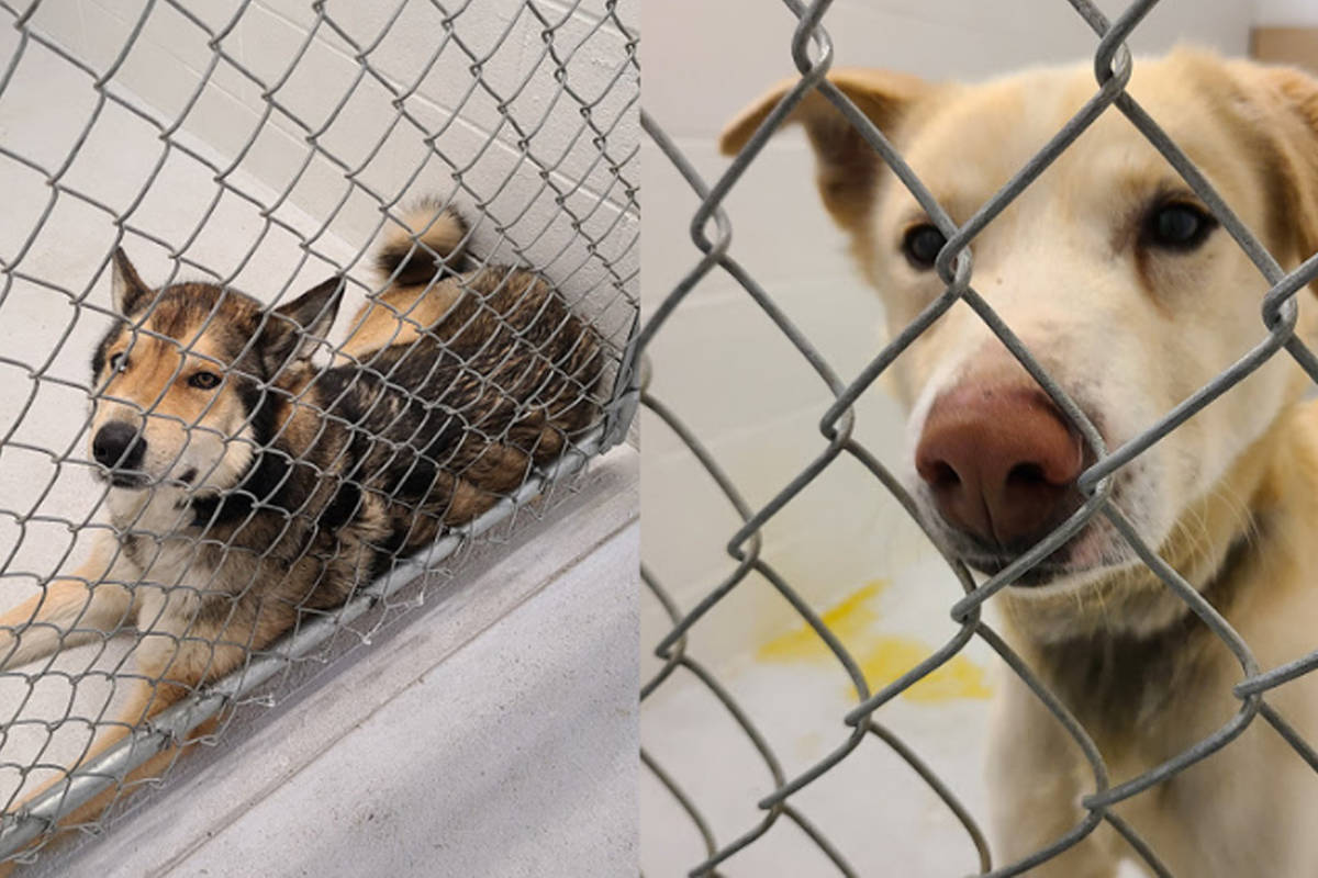 Two of the dogs removed from Salmo's Spirit of the North Kennels are seen here. Photo: BC SPCA