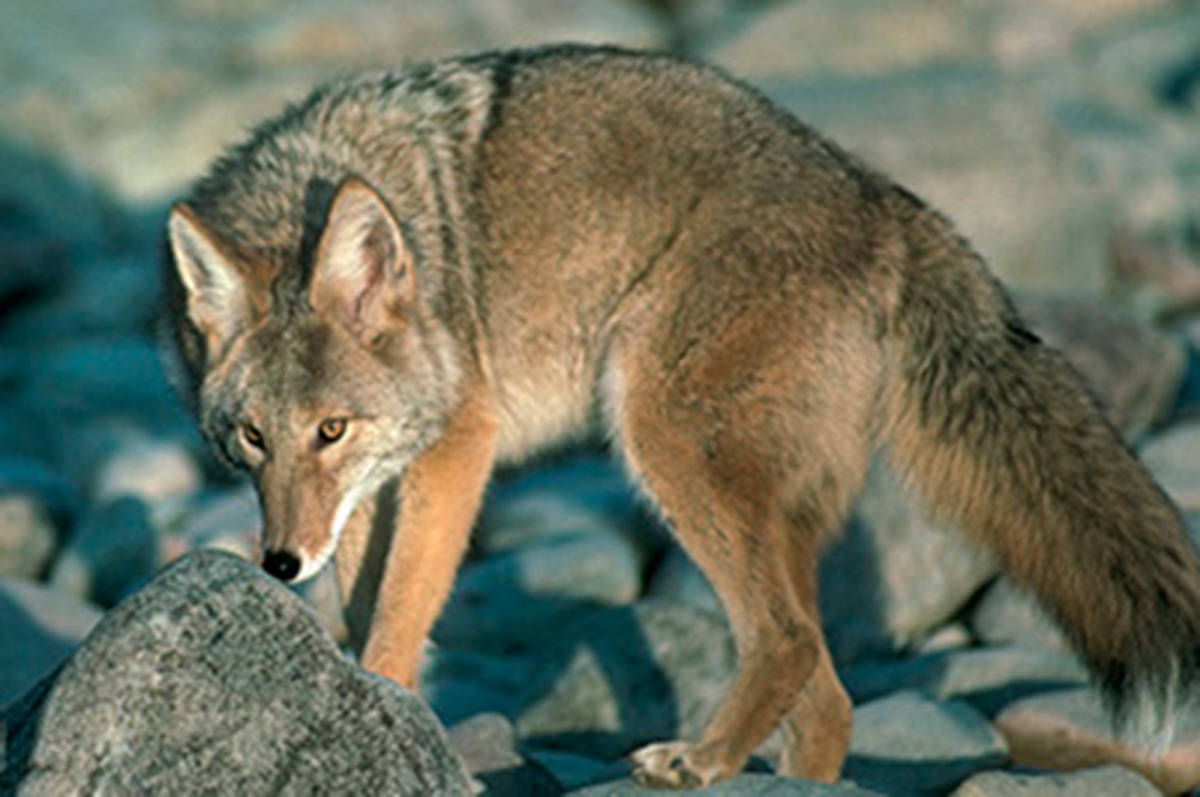Coyote sightings are not uncommon, but attacks on humans are. (BP File Photo)