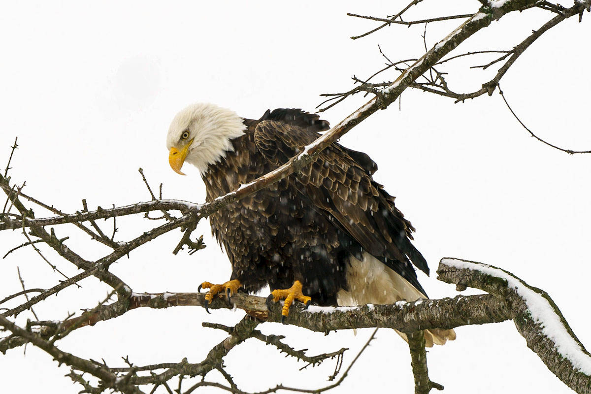 This stern looking eagle was in a tree above Fort Langley recently when captured by the camera of Lou Fasullo. (Special to the Langley Advance Times)