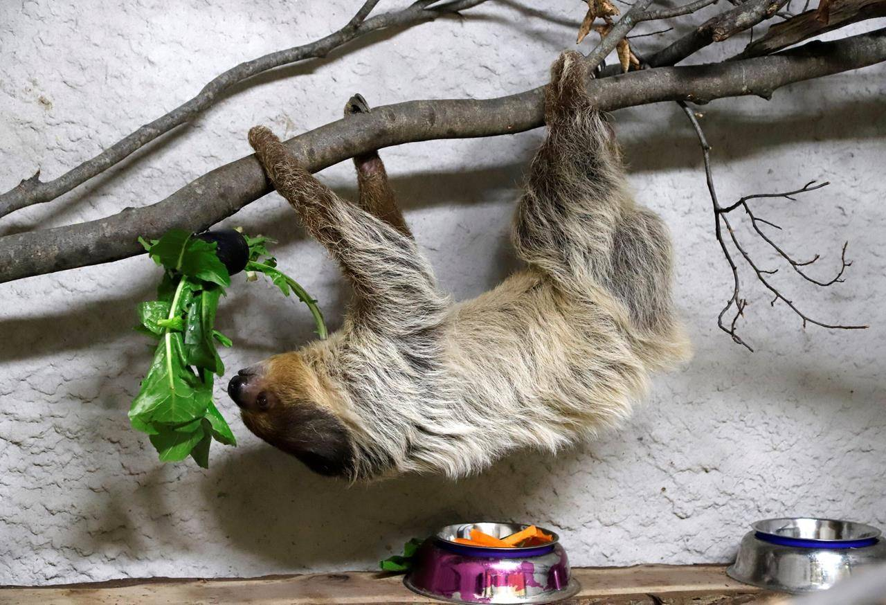 Barry, a two-toed sloth, eats his lunch at Little Ray's Nature Centre in Sarsfield, Ont. on Thursday, February 18, 2021. THE CANADIAN PRESS/ Patrick Doyle