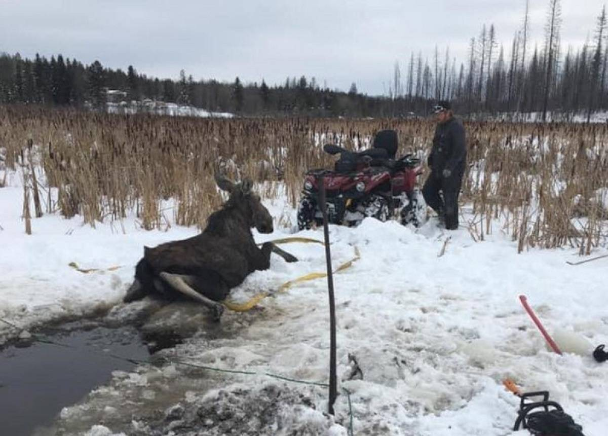 A cow moose was rescued from a frozen pond by local residents and a conservation officer east of Williams Lake on Friday, Feb. 19. (Kayla Ivens photo)