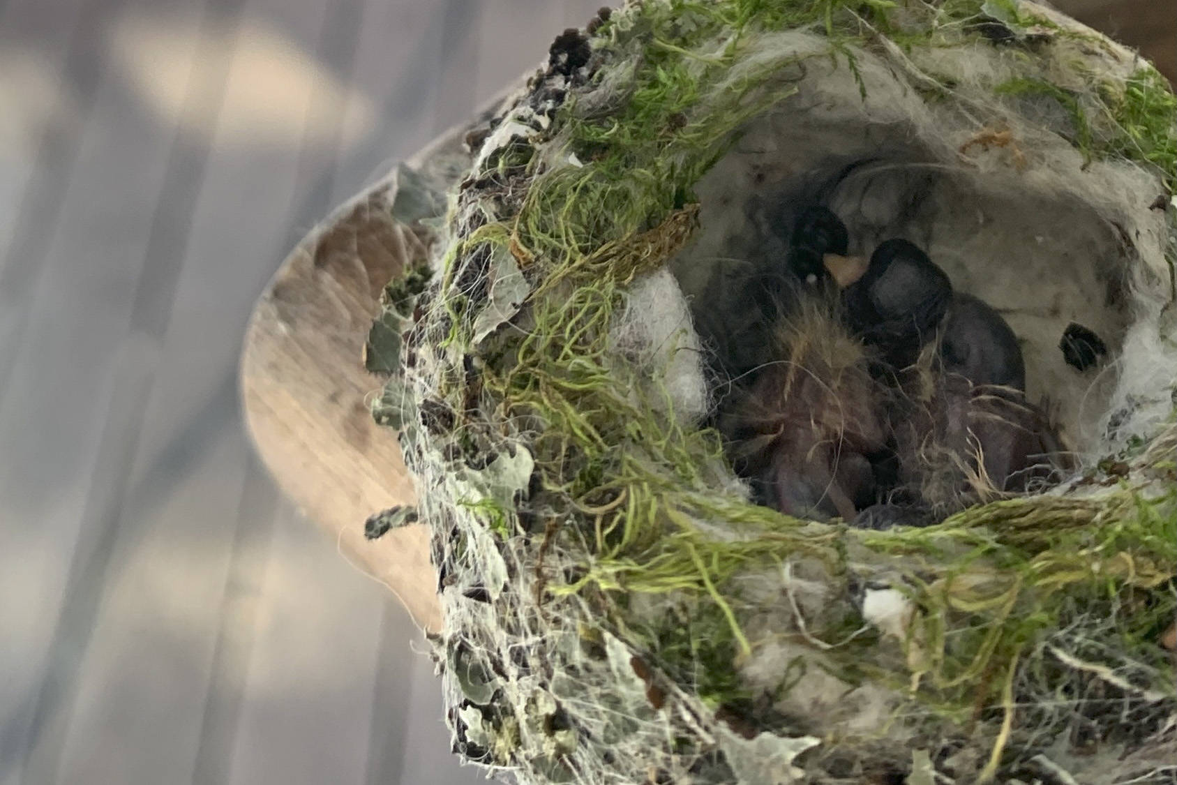 Victoria resident Ian Taylor has created a livestream of a mother hummingbird and her two chicks in hopes that it brings people a bit of joy. (Courtesy of Ian Taylor)