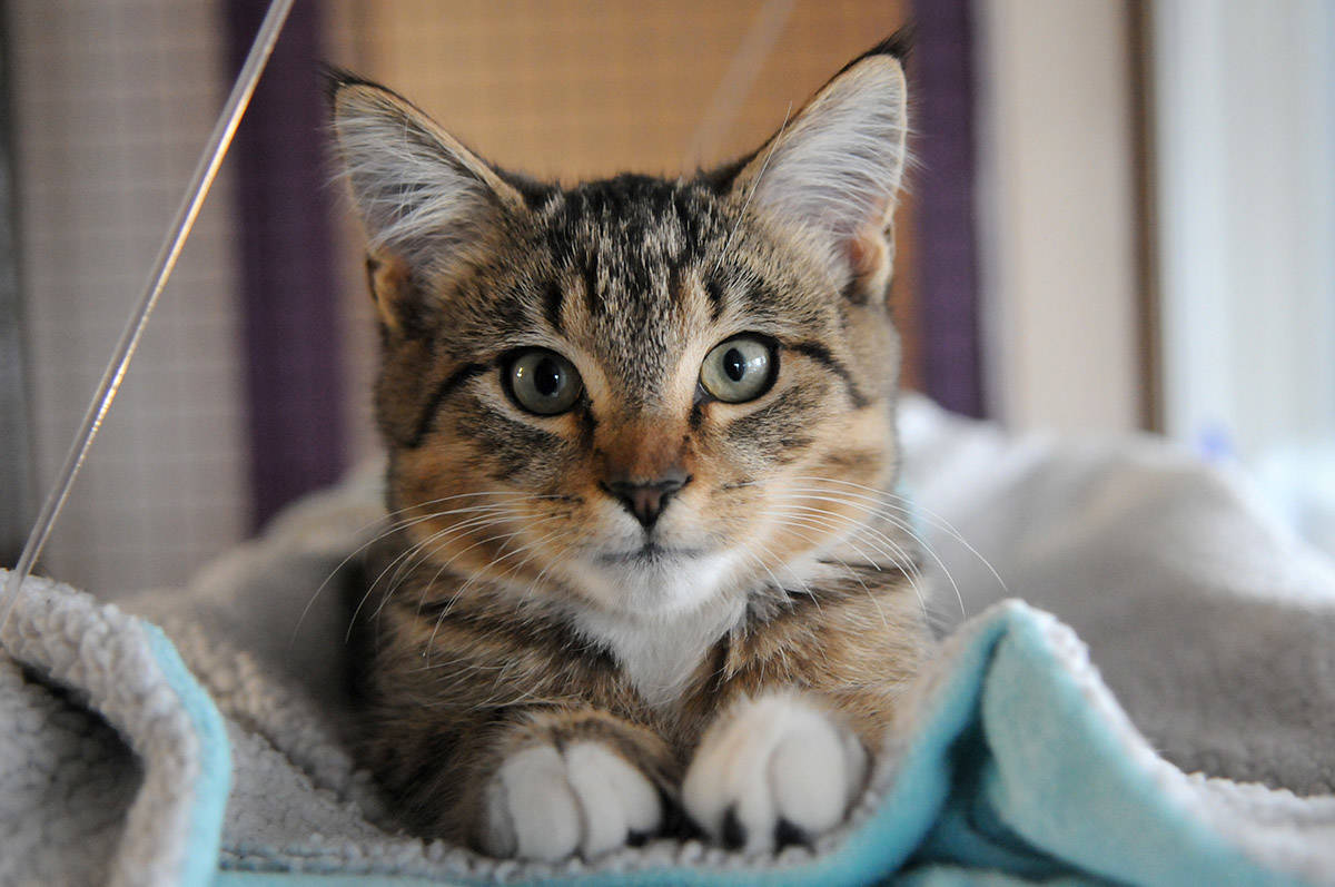 The BC SPCA is offering many chances for school-aged kids to learn about animal welfare and other animal topics. Pictured here is Keith, a three-month-old kitten seen on Nov. 4, 2020 at the Chilliwack SPCA. (Jenna Hauck/ Chilliwack Progress file)