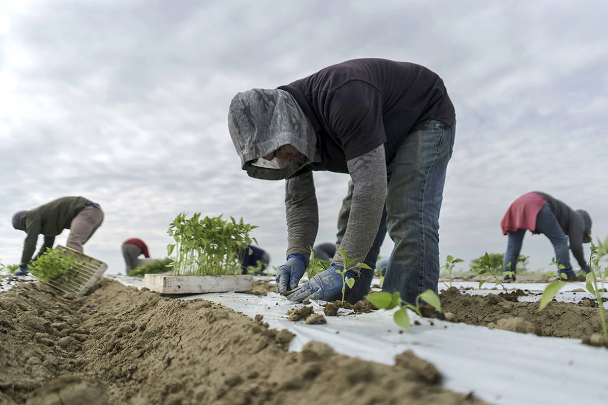 Migrant farm workers transplant jalapeno sprouts from trucks into the tilted soil at a farm. (Marcus Yam/Los Angeles Times)