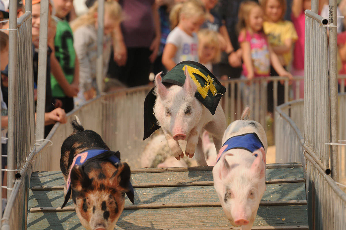 Pig races at the 145th annual Chilliwack Fair on Aug. 12, 2017. Monday, March 1, 2021 is Pig Day. (Jenna Hauck/ Chilliwack Progress file)
