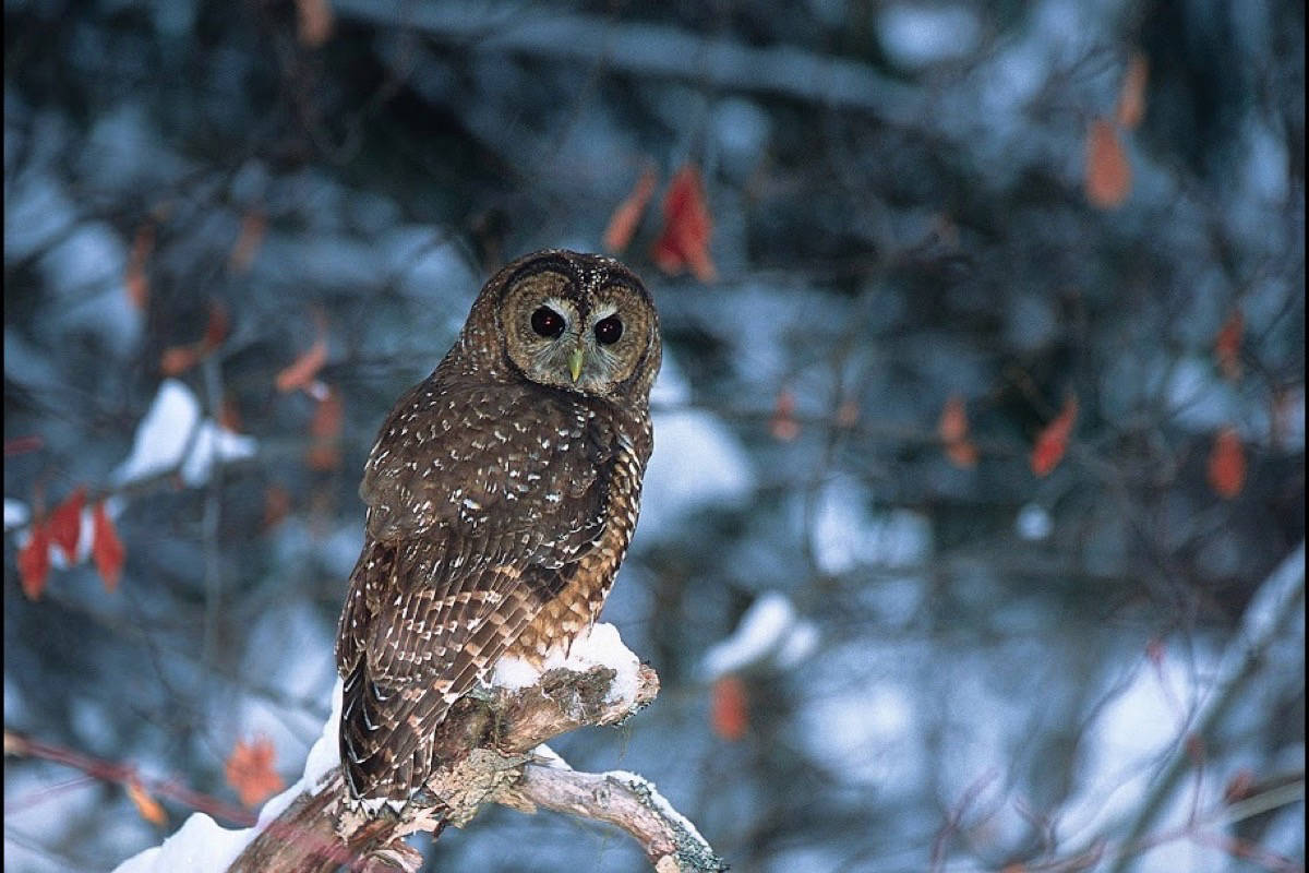 The last three wild northern spotted owls live near the Spuzzum Watershed outside of Hope. The province recently ordered a halt to logging for at least a year to give the owls a chance to survive.  (Photo/Jared Hobbs)