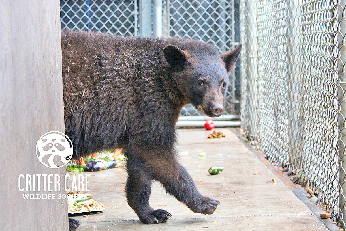 Critter Care posted this image of one of the bear cubs that are now waking up from hibernation and will need donations of fish and chicken to eat (Facebook image)