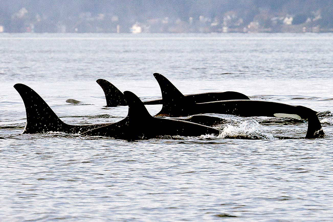 FILE - In this Jan. 18, 2014, file photo, endangered orcas from the J pod swim in Puget Sound west of Seattle, as seen from a federal research vessel that has been tracking the whales. A new study from federal researchers provides the most detailed look yet at what the Pacific Northwest's endangered orcas eat. Scientists with the NOAA Fisheries Northwest Fisheries Science Center spent years collecting fecal samples from the whales as well as scales from the fish they devoured. They say their data reaffirm the central importance of Chinook salmon to the whales. (AP Photo/Elaine Thompson, File)