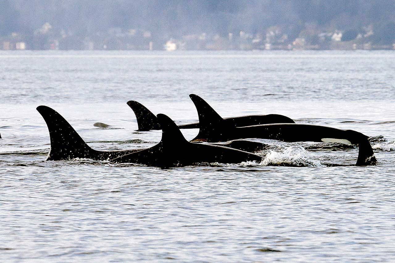 In this January 2014 file photo, endangered orcas from the J pod swim in Puget Sound west of Seattle as seen from a federal research vessel that has been tracking the whales. A new study from federal researchers provides the most detailed look yet at what the Pacific Northwest's endangered orcas eat. (Elaine Thompson/The Associated Press, File)
