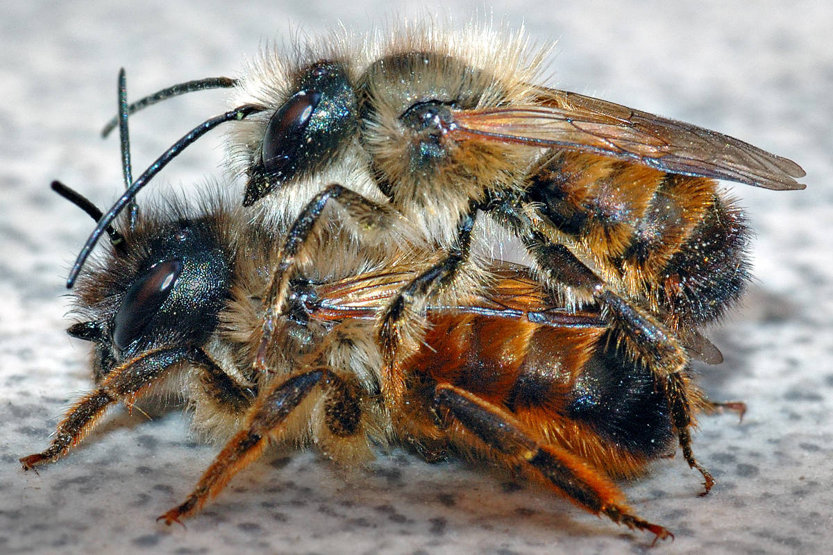 Red Mason Bee couple (André Karwath/licensed under the Creative Commons Attribution-Share Alike 2.5 Generic license)