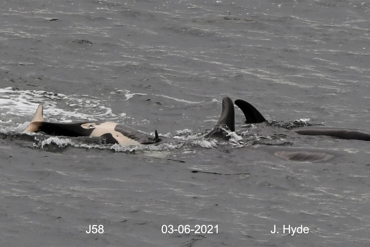Southern resident orca calf J58, born to mother J41 in September 2020, is confirmed to be a female. (Photo by Jeanne Hyde/Center for Whale Research)