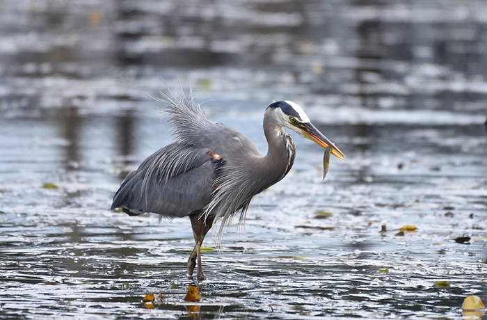 A Pacific great blue heron preys on a juvenile salmon in Cowichan Bay. A new study out of UBC suggests the birds removed between three and six per cent of the young fish every year from the Salish Sea region. (Photo supplied by Robert Stenseth)