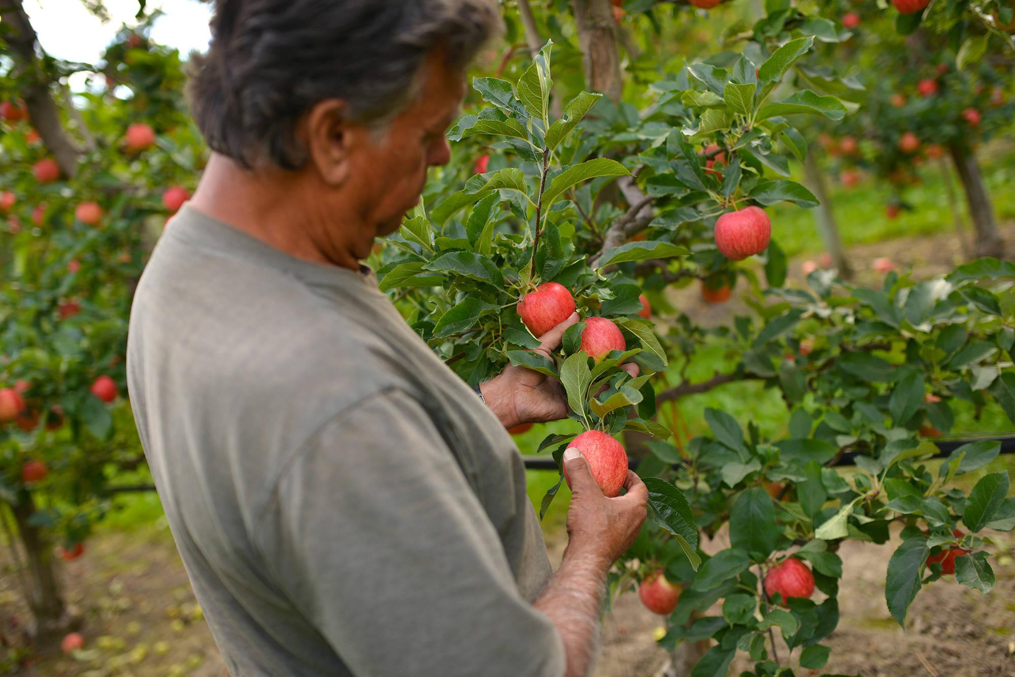 Sam DiMaria, owner of Bella Rosa Orchard, examines his harvest in September. (Phil McLachlan - Kelowna Capital News - File)