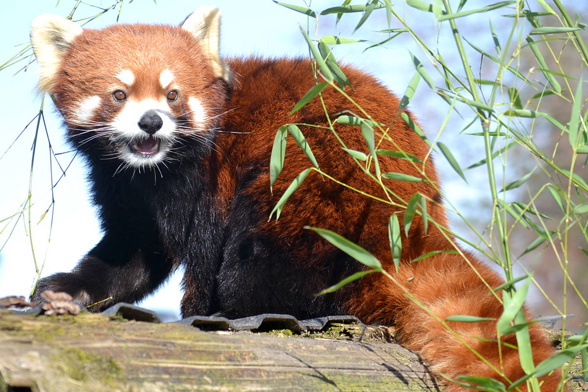 Arun, Greater Vancouver Zoo's resident Red Panda, has a girlfriend. (Ryan Uytdewilligen/Aldergrove Star)