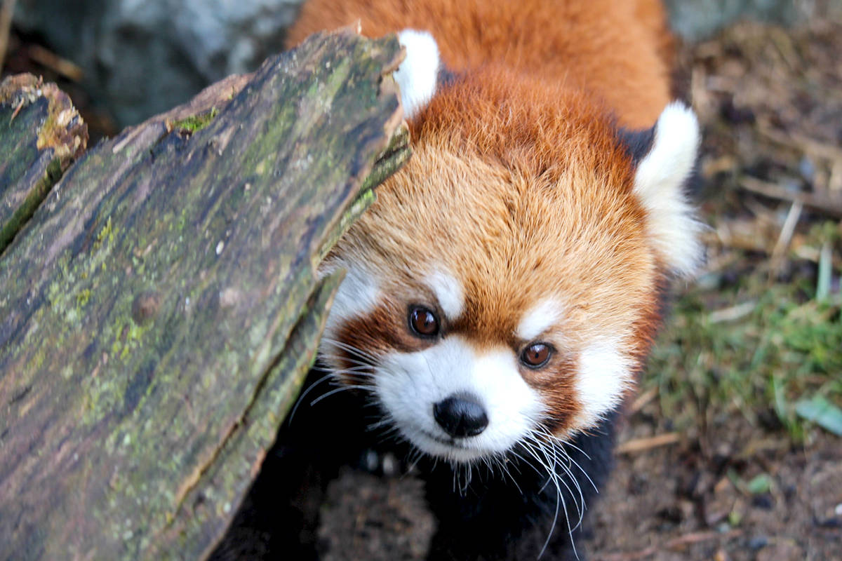 Sakura, Greater Vancouver Zoo's newest Red Panda. (Cody Gampe/Special to The Star)