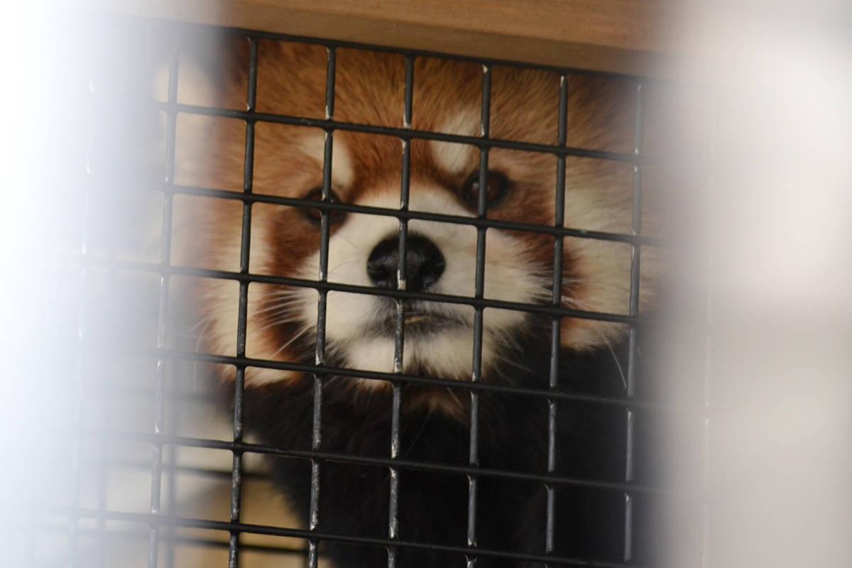 Sakura, Greater Vancouver Zoo's newest Red Panda. (Ryan Uytdewilligen/Aldergrove Star)