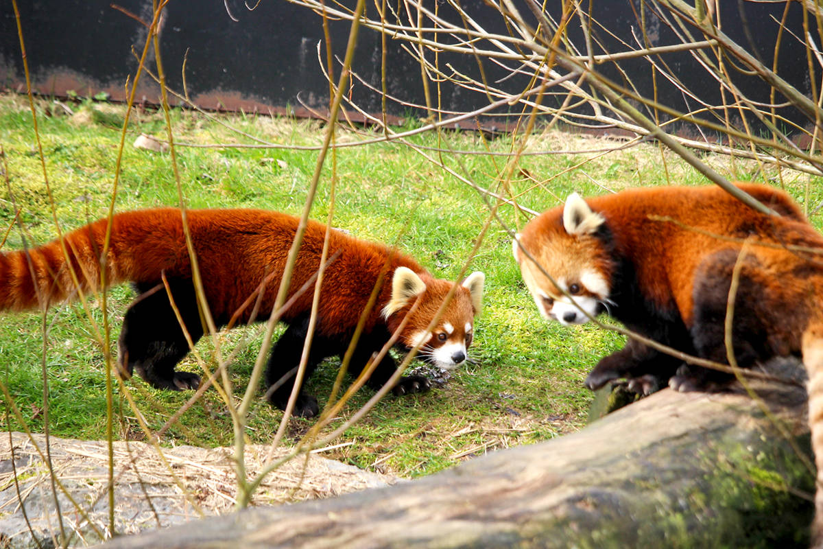 Sakura and Arun, Greater Vancouver Zoo's Red Pandas, meet in their enclosure. (Cody Gampe/Special to The Star)