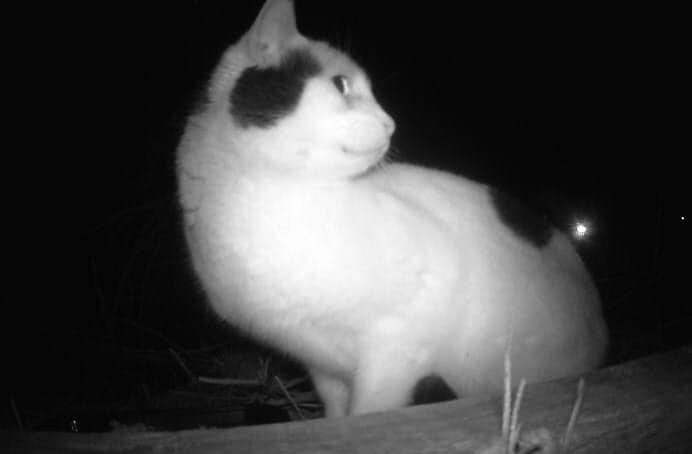 Christy Moschopedis of FCM Community Cat Trappers set up a video camera and a feed station to confirm that Handsome was living in an area behind Cheam View Veterinary Clinic (Young Road) and the RCMP detachment on Airport Road. (Facebook photo)