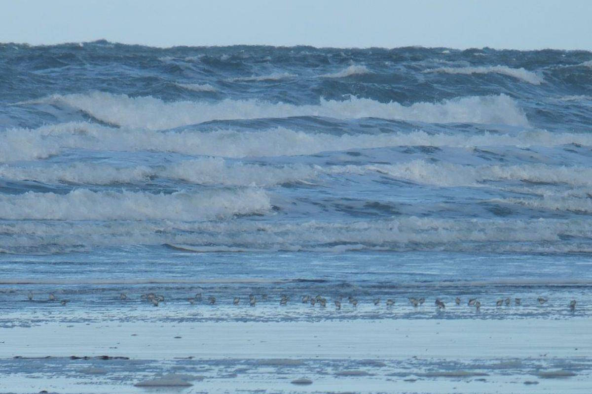 Sanderlings by the sea. (Margo Hearne / Haida Gwaii Observer)