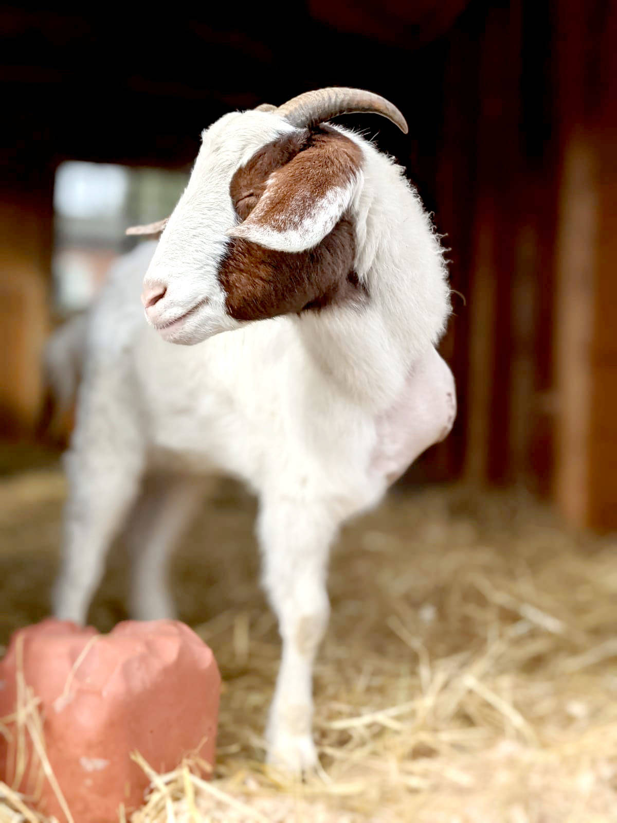 Gibbles the goat, a resident at the Happy Herd Animal Sanctuary in Aldergrove, is living life after having one leg amputated. (Special to The Star)