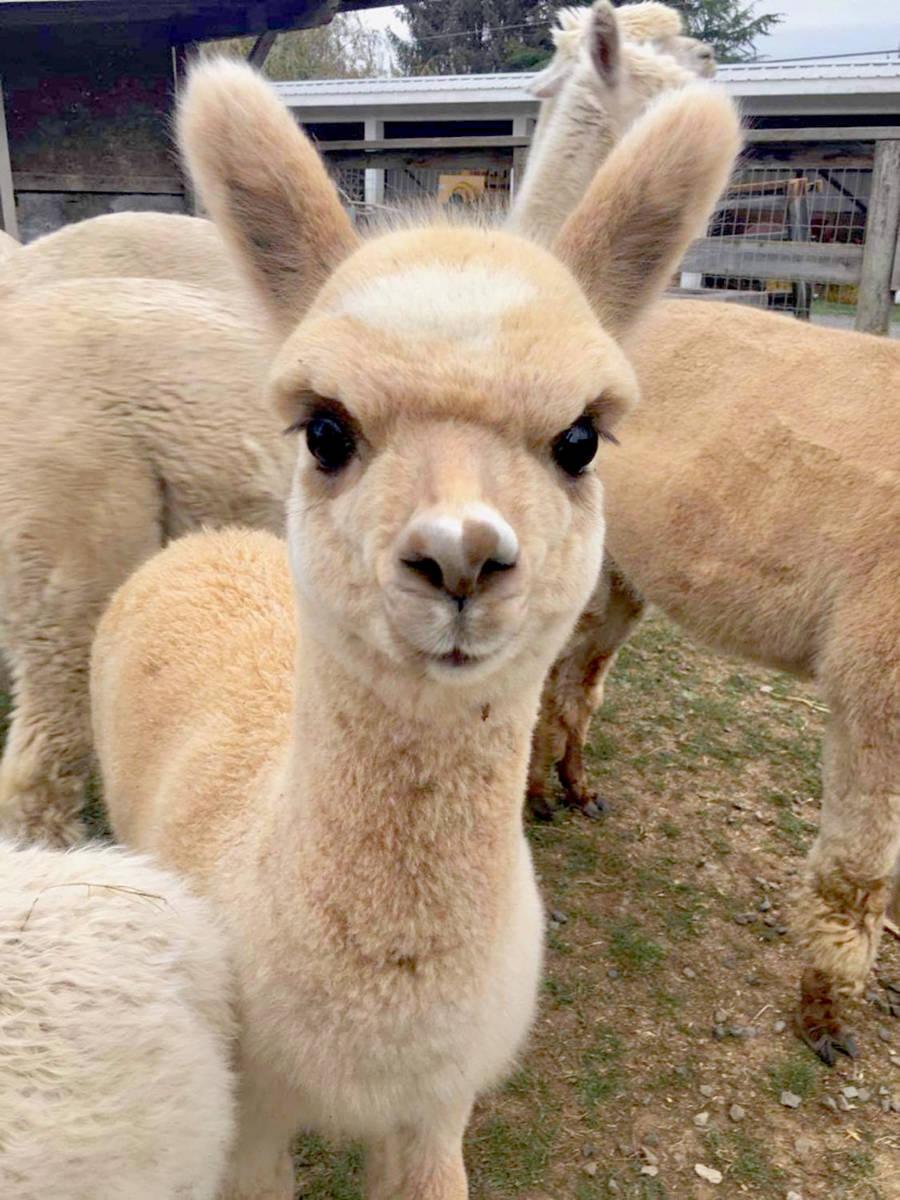 Young Alpaca at Kensington Prairie Farm. (Special to The Star)