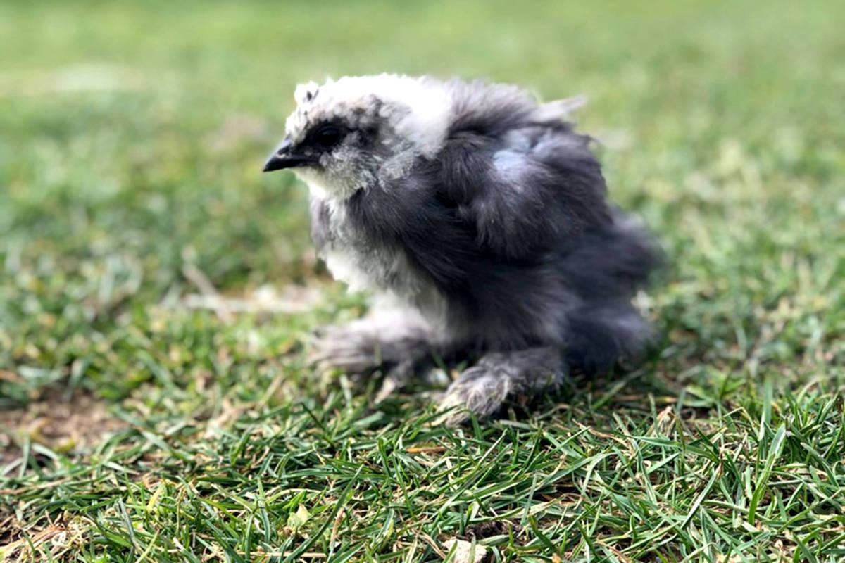 Baby bird at Kensington Prairie Farm. (Special to The Star)