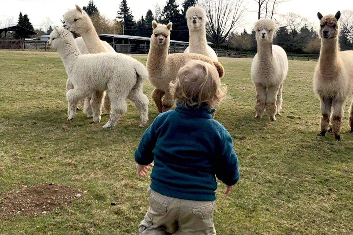 Porter Milton meets the alpacas at Kensington Prairie Farm. (Special to The Star)