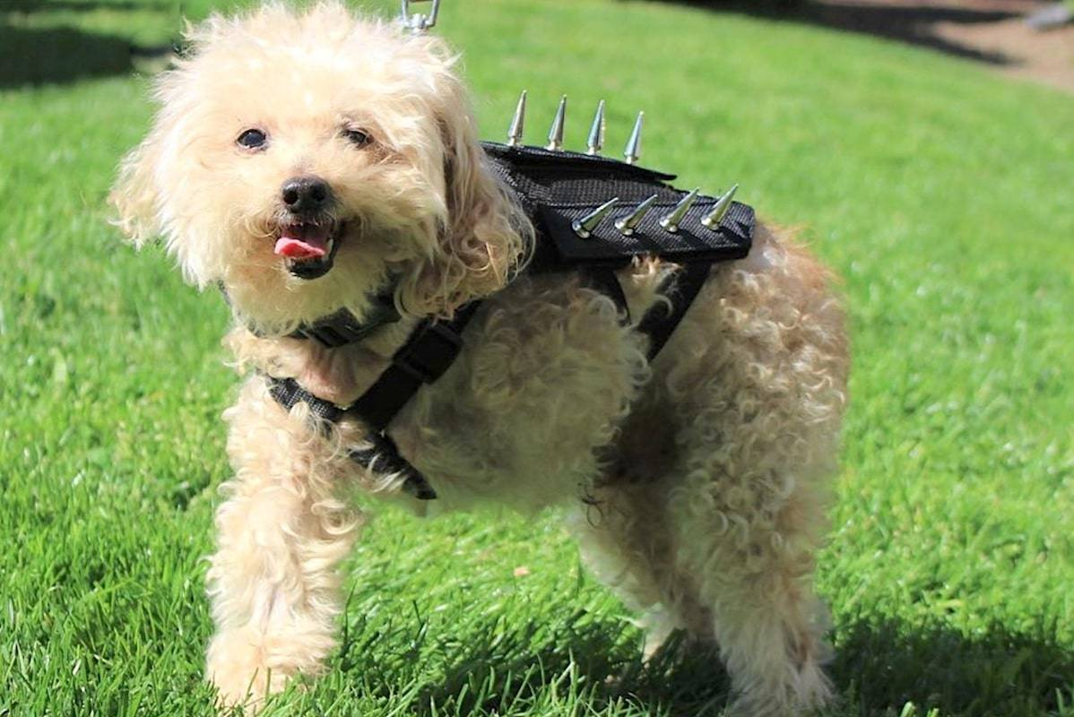 Sebatian, a poodle who lost his leg to a vicious attack three years ago, now wears the spiky harness – created by two Vancouver veterinary professionals. (PredatorBWear)