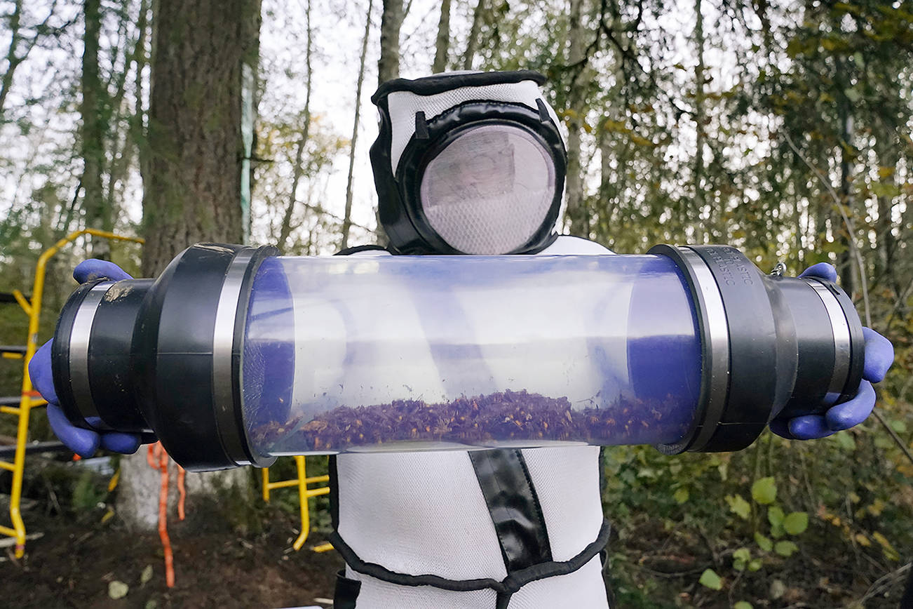FILE – Sven Spichiger, Washington State Department of Agriculture managing entomologist, displays a canister of Asian giant hornets vacuumed from a nest in a tree behind him Saturday, Oct. 24, 2020, in Blaine, Wash. (AP Photo/Elaine Thompson)