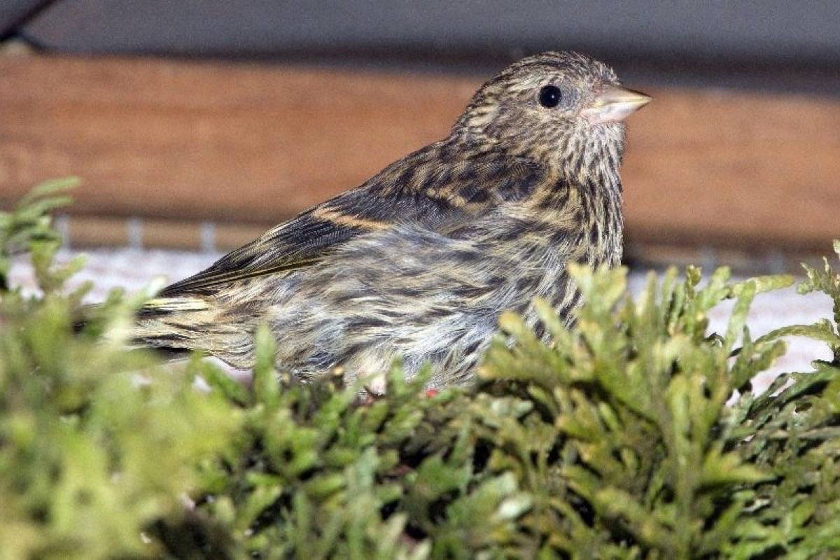 Wildlife experts say that pine siskin birds (pictured) still carry the risk of salmonella infection. (File photo)