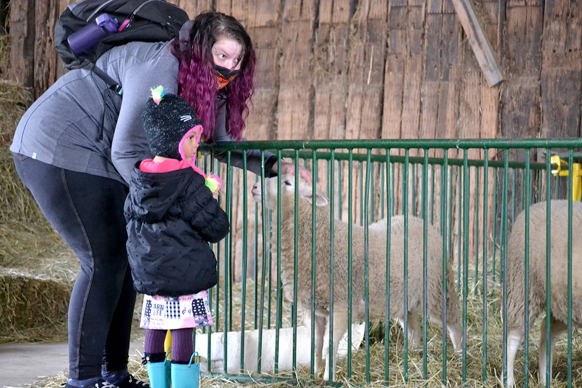 Three-year-old Stephanie Middleton meets sheep at Aldor Acres. (Ryan Uytdewilligen/Langley Advance Times)