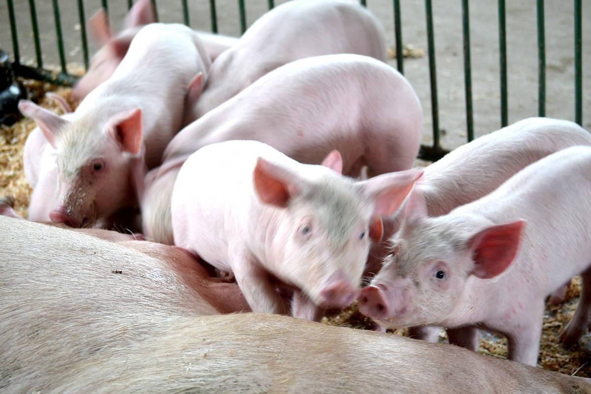 Pigs at Aldor Acres. (Ryan Uytdewilligen/Langley Advance Times)