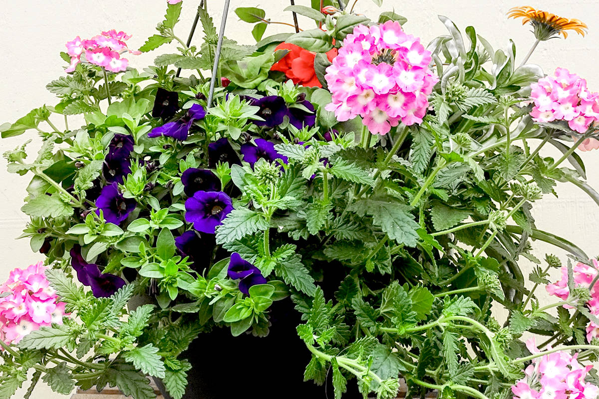 Clearview Garden Shop is offering hanging baskets, which will help Alder Grove Heritage Society. (Special to The Star)