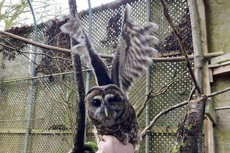 A male, disabled spotted owl from California, seen in an undated handout photo, arrived at a B.C. breeding facility in hopes to mate with some of the captive owls here to strengthen the gene pool. THE CANADIAN PRESS/HO-Northern Spotted Owl Breeding Program, *MANDATORY CREDIT*