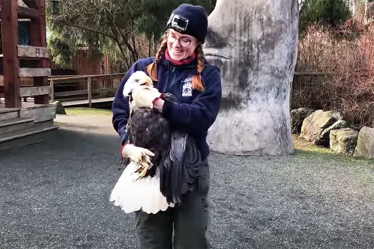 A bald eagle, rehabilitated at the North Island Wildlife Recovery Centre in Errington, has been released into the wild. (NIWRA screen cap)