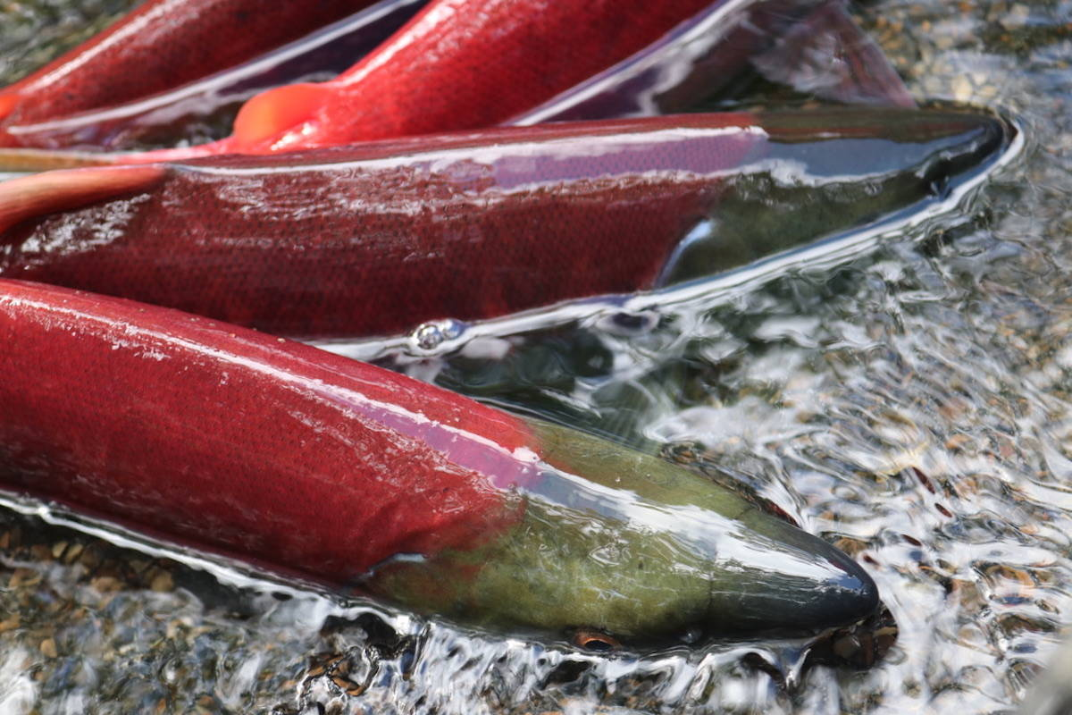 For every male sockeye salmon that doesn't make it back to its spawning grounds, at least two, sometimes three females die, says findings from a recent UBC study. (Courtesy Photo/MC Martin)