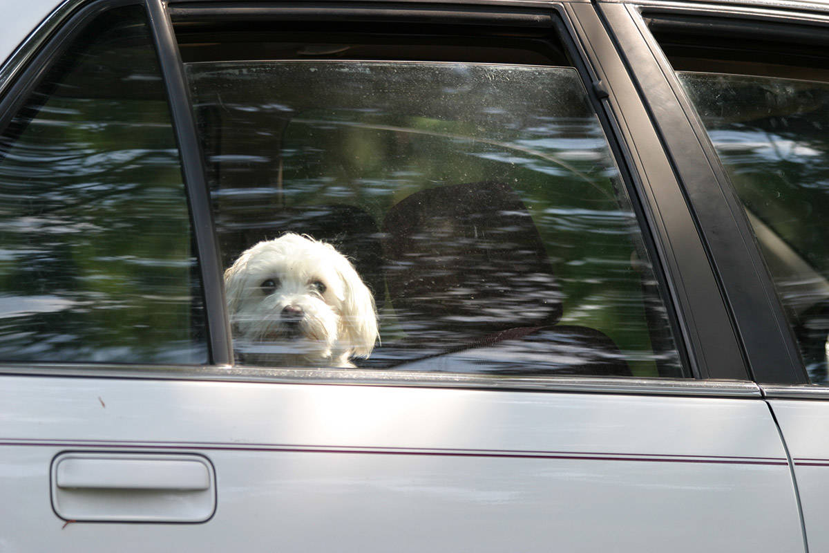 The BC SPCA is reminding drivers of the dangers of having pets in vehicles, both when leaving it parked and when travelling. (Paul Henderson/ Chilliwack Progress file)