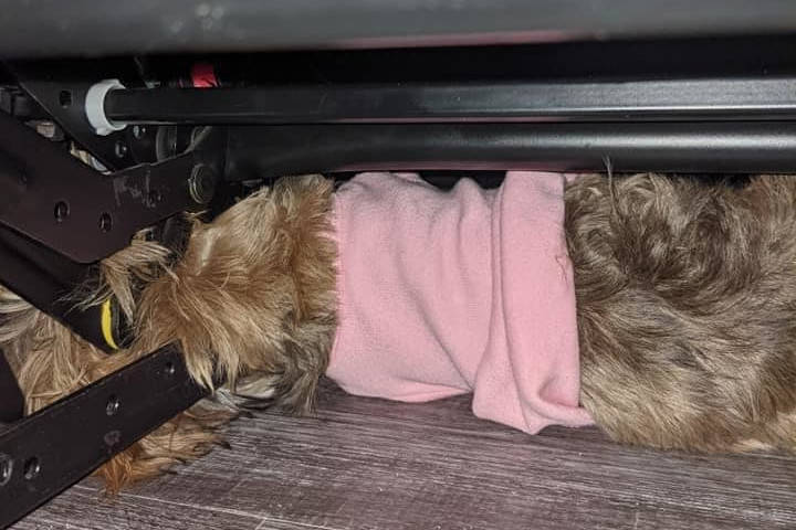Bean, a small dog, got her head stuck in the reclining mechanism of a couch on Wednesday night. (Facebook/Kamloops Fire Rescue)