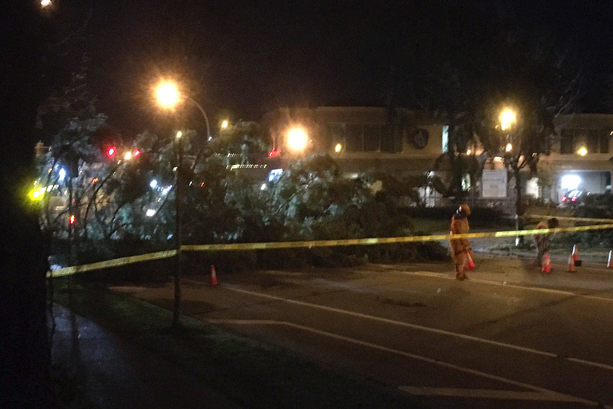 Large pine tree fell on 224th Street blocking traffic, near the Aldergrove Credit Union, during the windstorm Sunday night in Murrayville. (Dwayne Weidendorf/Black Press Media)