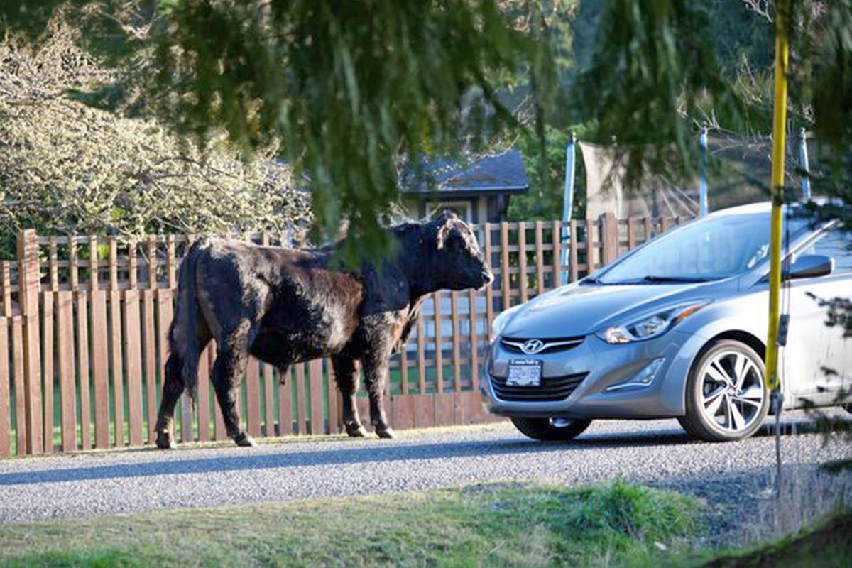 Residents in the San Pareil community woke up Monday morning (March 29) to find an escaped herd of cattle roaming the streets from a nearby farm. (Kate Jennings photo)