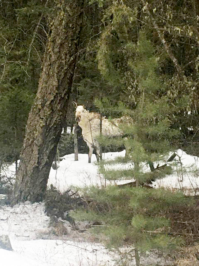 Williams Lake resident Hattie Deyo captured this photograph of a rare white moose, or spirit moose, during a drive outside the city recently. (Hattie Deyo photo)