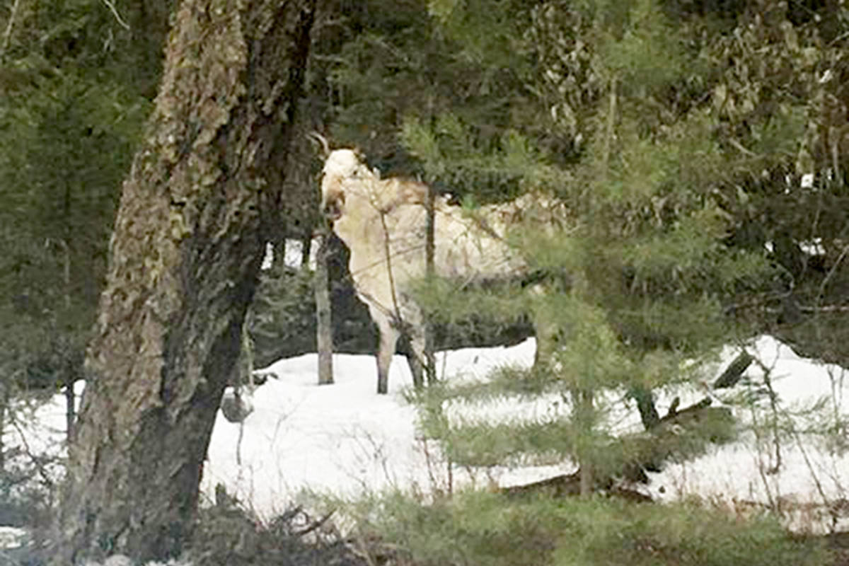 Williams Lake resident Hattie Deyo captured this photograph of a rare white moose, or spirit moose, during a drive in the Cariboo recently. (Hattie Deyo photo)