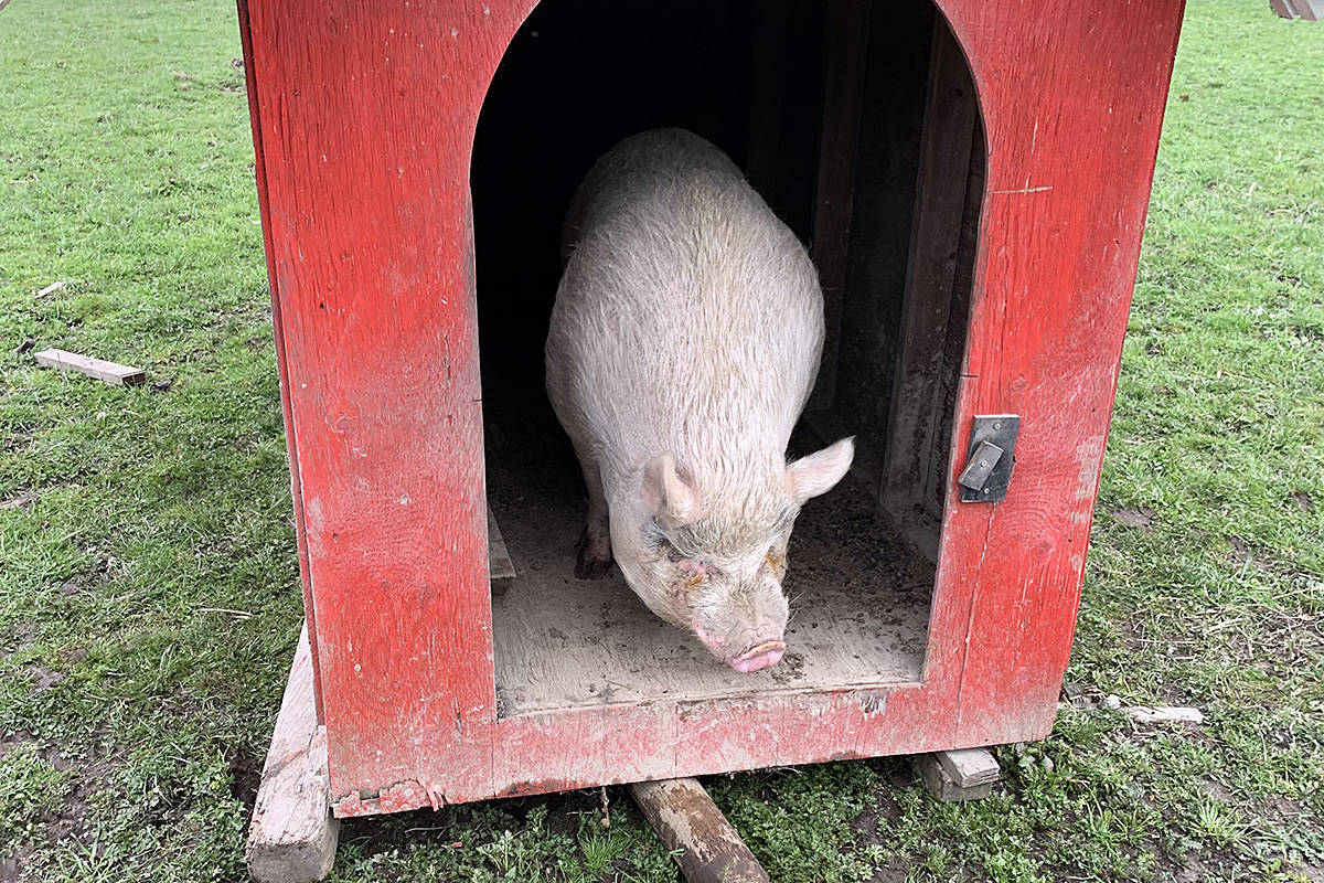 The folks at Happy Herd Farm Sanctuary, who have adopted Bebop, are hoping he makes friends with their existing pig, Garth, seen here. (Happy Herd Farm Sanctuary/Special to the Langley Advance Times)