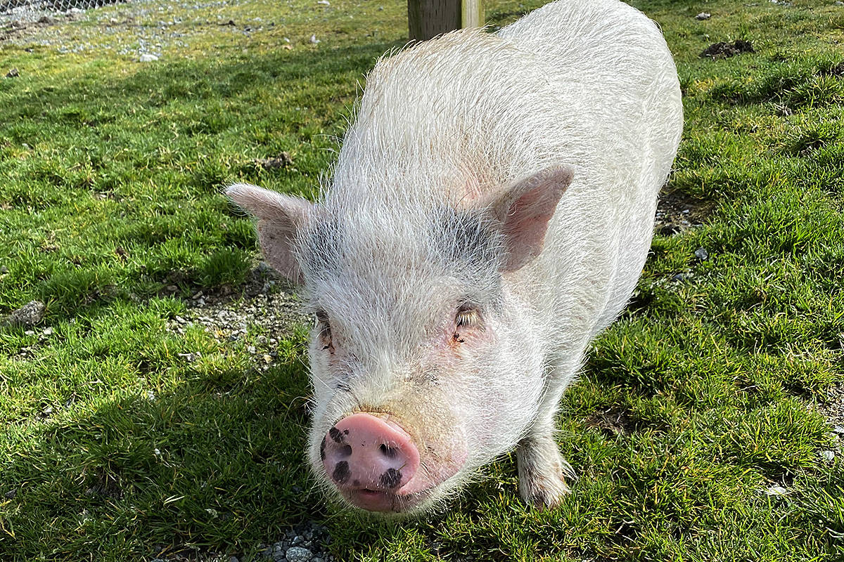 Bebop, a pot-bellied pig found wandering in Langley, is heading to a new home after a stay at the Langley Animal Protection Society's shelter in Aldergrove. (Happy Herd/Special to the Langley Advance Times)