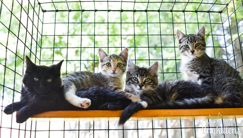 Homeless kittens rescued by TinyKittens in 2017. The group has had success in multiple local feral cat colonies in the last year. (TinyKittens/Special to the Langley Advance Times)