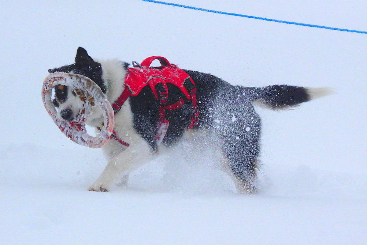 Drift showing returning with his find at White Pass. (Scott Tibballs / The Free Press)