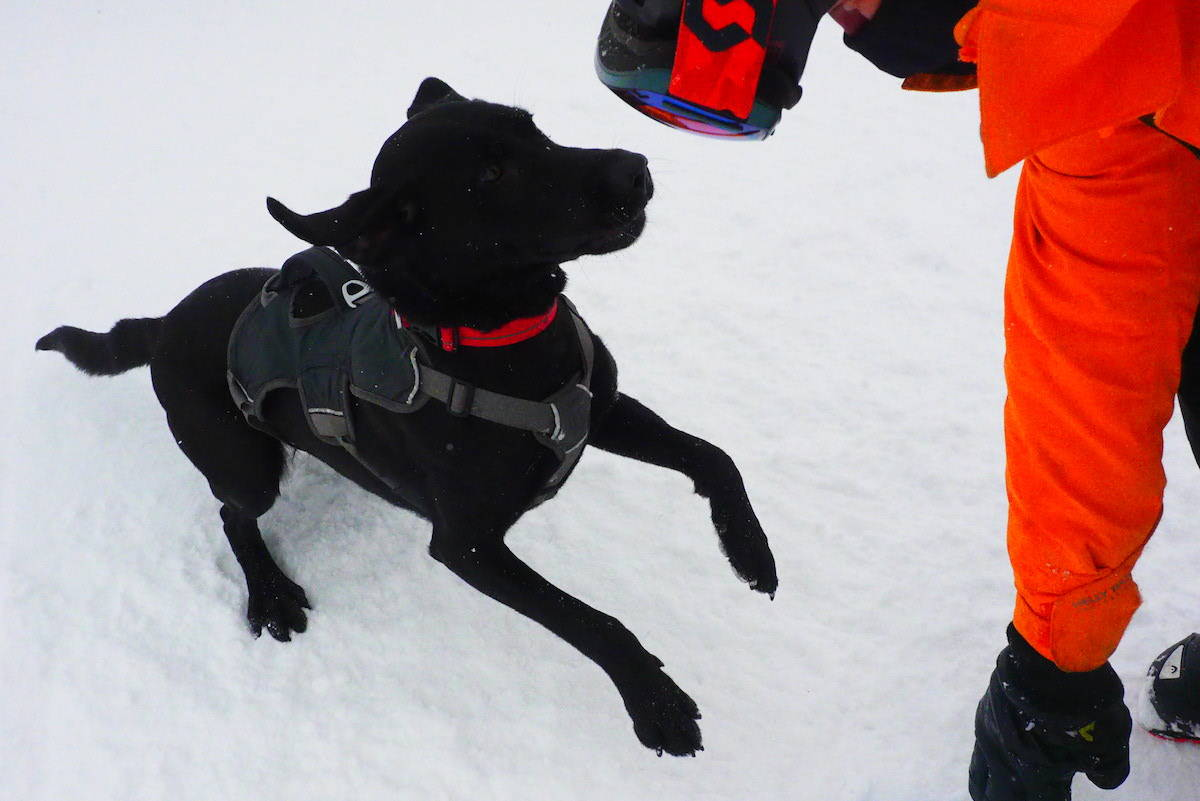Sadie is an avalanche rescue dog in training. (Scott Tibballs / The Free Press)