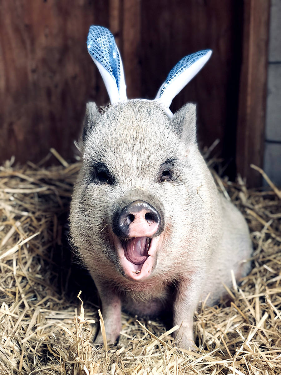 Pickles the pig celebrates Easter at Happy Herd Animal Sanctuary. (Happy Herd/Special to The Star)
